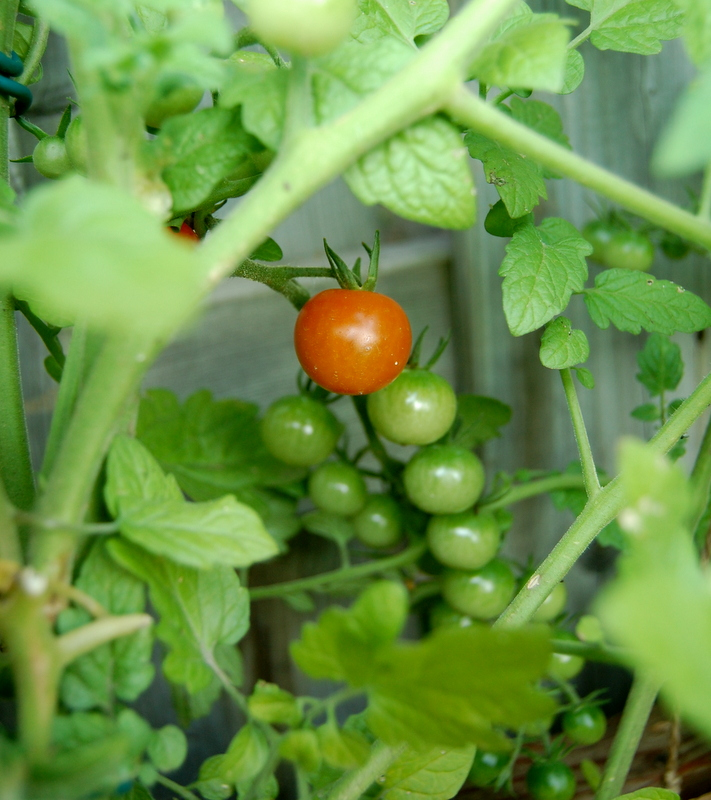 first tomato of the year