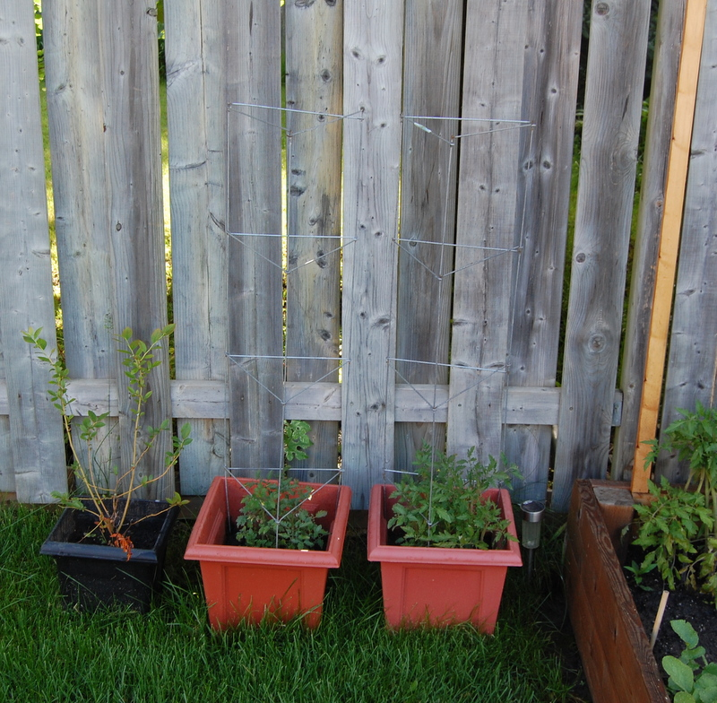 trying to revive tomato plants