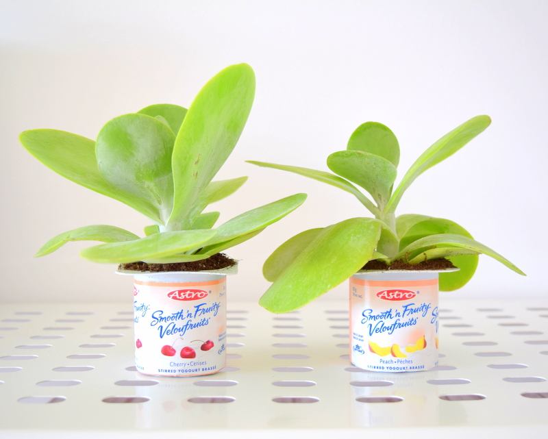 Yogurt containers turned makeshift plant pots for planter - northstory.ca